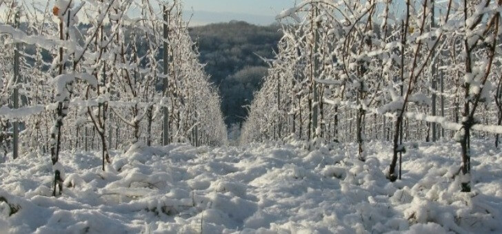 vignes-recouvertes-d-une-robe-blanche-hiver
