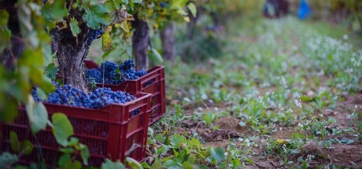 chateau-roque-a-fontanes-cepages-rouges-occupent-80-des-vignobles