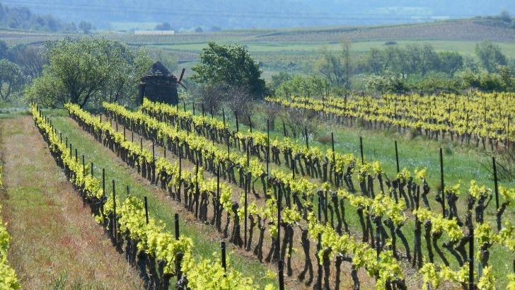 domaine-maillols-une-viticulture-raisonnee-apparente-plus-a-une-viticulture-biologique