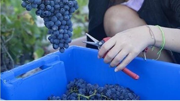 domaine-maravilhas-vendange-fait-manuellement-pour-preserver-une-qualite-optimum-des-raisins