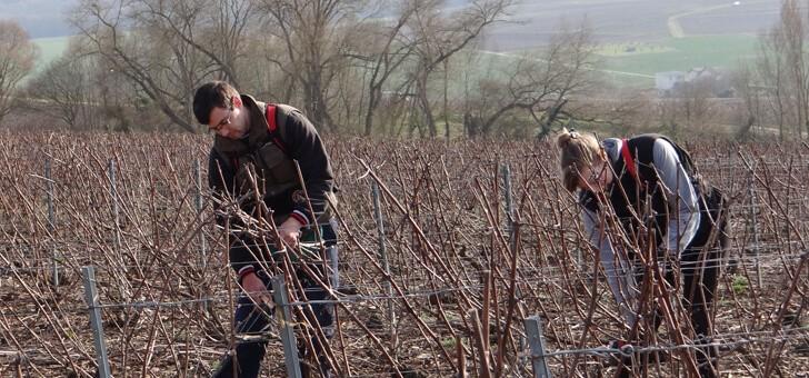 preparation-des-vignes-necessite-un-travail