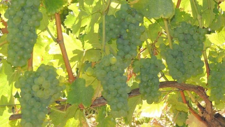 chateau-de-tracy-des-vins-blancs-issus-de-cepages-historiques