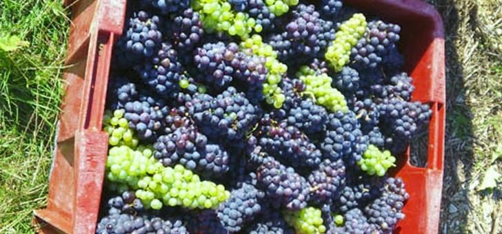 raisins-fraichement-recoltes-sur-vignoble