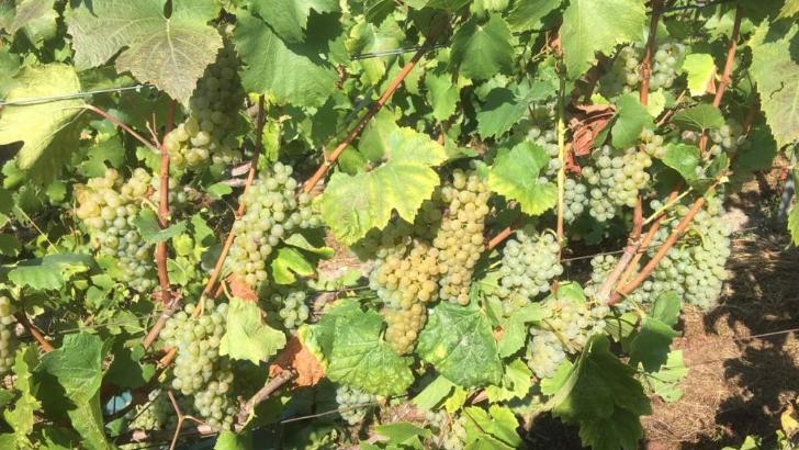 champagne-j-margouillat-raisins-profitant-d-un-ensoleillement-optimal