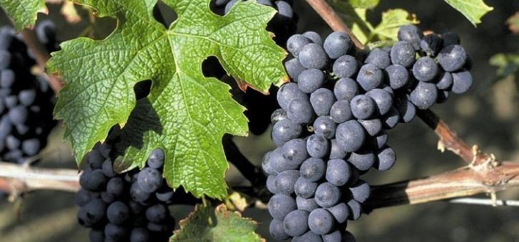 chateau-ladesvignes-a-pomport-merlot-cabernet-franc-et-cabernet-sauvignon-donnent-du-vin-rouge-d-une-qualite-exceptionnelle
