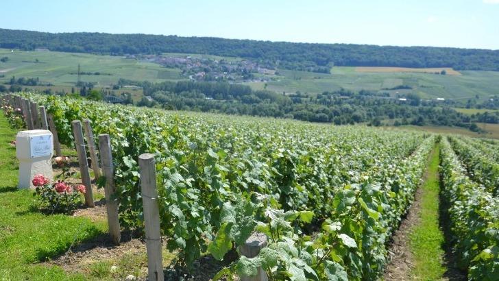 vignoble-etend-sur-13-hectares