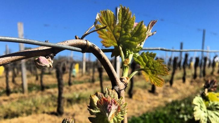 vignoble-de-florian-bouchon-profite-d-un-terroir-epanoui-et-de-soins-minutieux