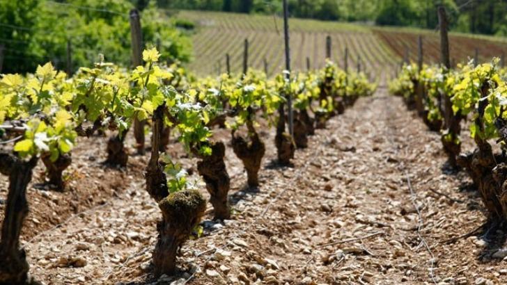 champagne-guy-lamoureux-a-riceys-un-sol-argilo-calcaire-riche-et-fertile