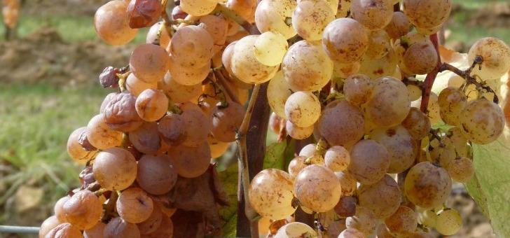 chateau-ladesvignes-a-pomport-65-du-vignoble-est-consacre-aux-cepages-blancs-a-instar-du-sauvignon-semillon-et-muscadelle