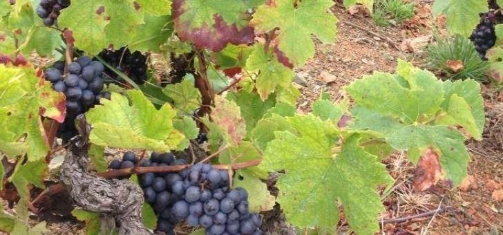 raisins-sur-pieds