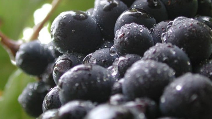 champagne-soutiran-des-raisins-profitent-d-un-ensoleillement-maximal