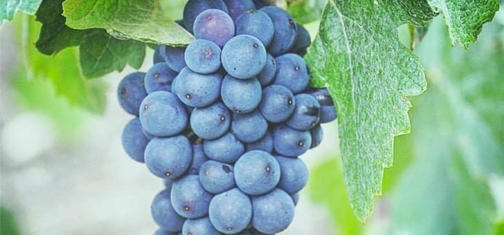 cepages-soignes-respect-viticulture-raisonnee