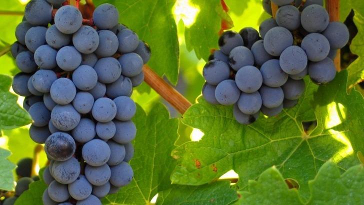 domaine-de-baume-de-belles-grappes-de-raisins