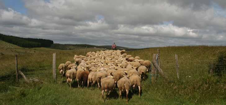 agneau-de-lozere