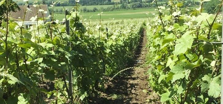 vignes-plantees-des-trois-cepages