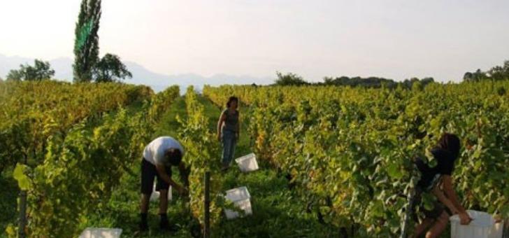 vendange-au-domaine-dupraz-des-vins-de-savoie-au-gout-unique