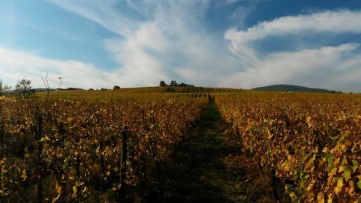 une-vue-de-vigne-au-domaine-herr-un-travail-de-vinification-une-culture-raisonnee-de-vigne-des-sols-une-utilisation-des-meilleurs-cepages-d-alsace