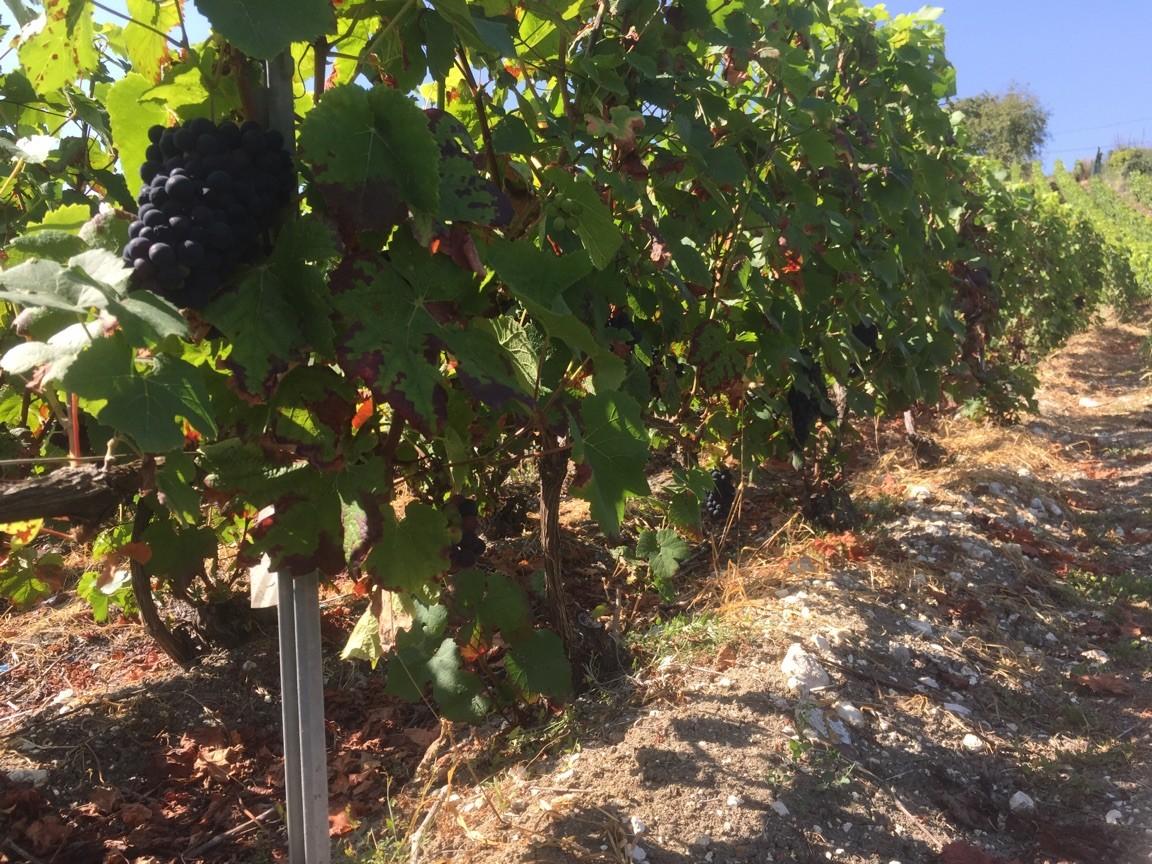 atouts-majeurs-pour-culture-de-vigne