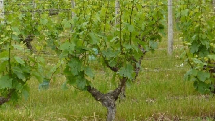 domaine-de-chapiniere-25-ha-de-vignes-situes-aoc-touraine