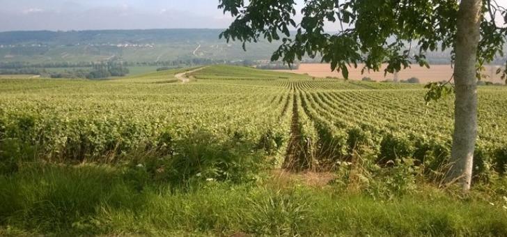 terroir-d-exception-produisant-champagnes-uniques