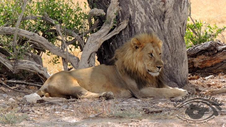 un-lion-a-apercevoir-au-parc-etosha-namibie