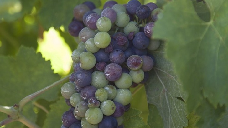 domaine-maravilhas-raisin-prend-de-couleur-a-stade-de-veraison