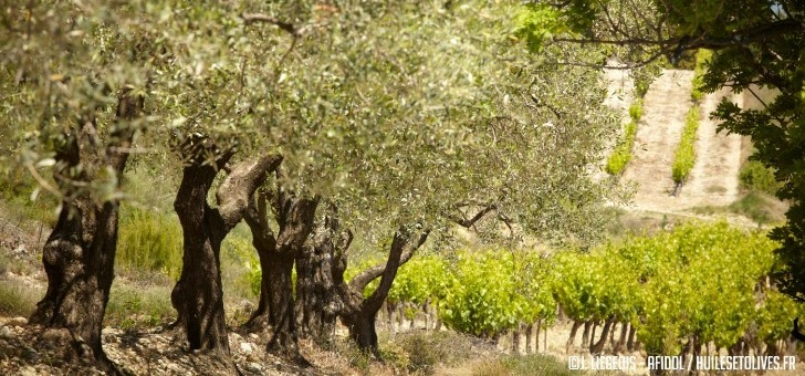 5-terroirs-preservent-six-appellations-olives