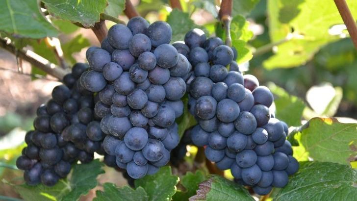 meilleures-vignes-permettent-obtenir-meilleurs-vin