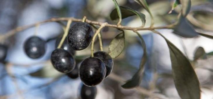 huile-d-olive-aoc-oliu-di-corsica-a-lumio