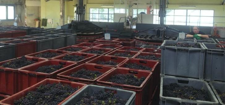 raisins-fraichement-recoltes
