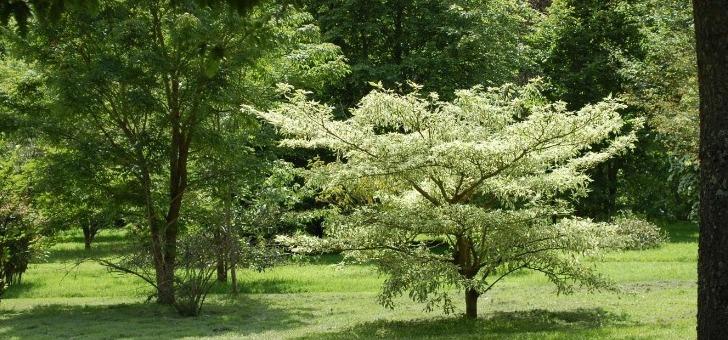 cornus-controversa-variegata
