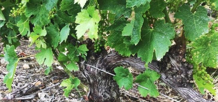 plantation-de-raisins