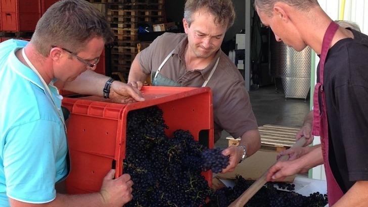 champagne-delavenne-raisins-recoltes-vignoble