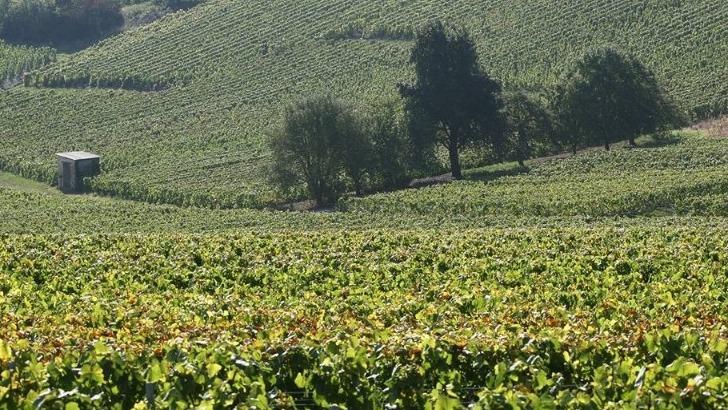 champagne-launois-pere-et-fils-a-mesnil-sur-oger-un-vignoble-fait-honneur-au-chardonnay-grand-cru