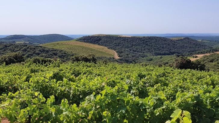 vignobles-du-domaine-de-monthelys-sont-situes-au-pied-des-cevennes