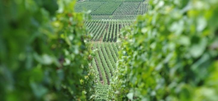 vignes-plantees-de-pinot-noir-et-de-chardonnay