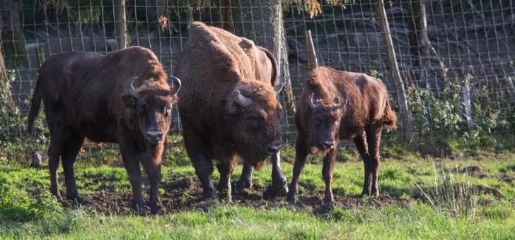 des-bisons-a-boutissaint