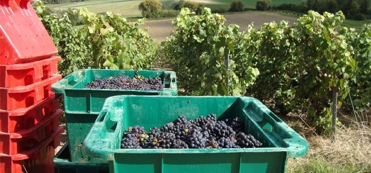 des-raisins-noirs-meunier-fraichement-recoltes