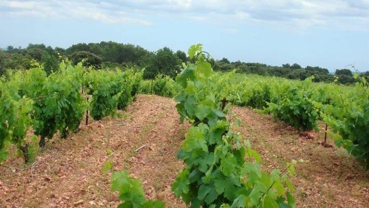 vignes-composent-des-cepages-typiques-du-languedoc