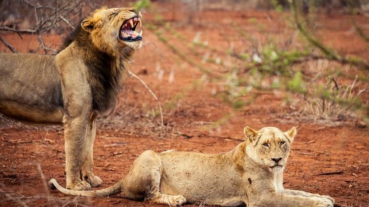 vibrez-safari-devant-roi-lion-et-sa-belle-afrique-du-sud