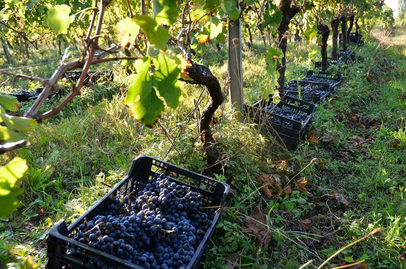 chateau-pre-lande-des-cagettes-ajourees-et-de-faible-contenance-pour-respecter-raisins