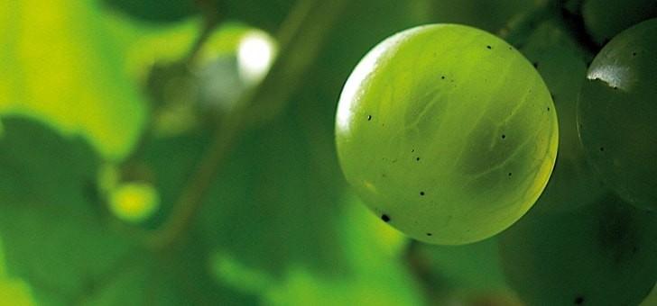 des-raisins-de-qualite