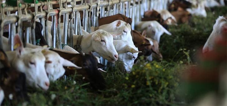 aop-selles-sur-cher-un-fromage-de-chevre