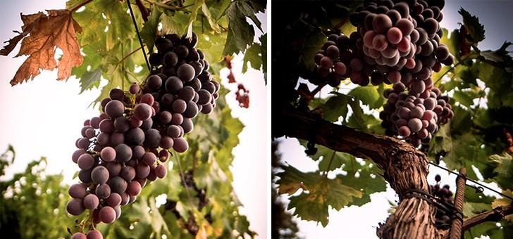 un-climat-remarquable-pour-production-viticole