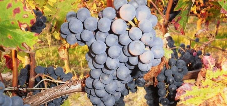 des-raisins-sains-et-genereux-pour-des-vins-d-exce
