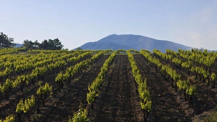 domaine-pique-basse-des-vendanges-manuelles-et-absence-de-tout-engrais-chimique-et-autres-desherbants-assurent-une-qualite-optimum-des-vins