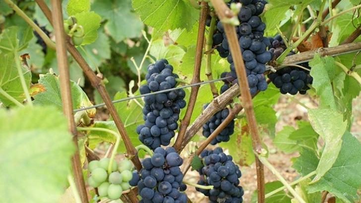 champagne-moyat-jaury-guilbaud-de-vieilles-vignes-remontent-a-trois-generations