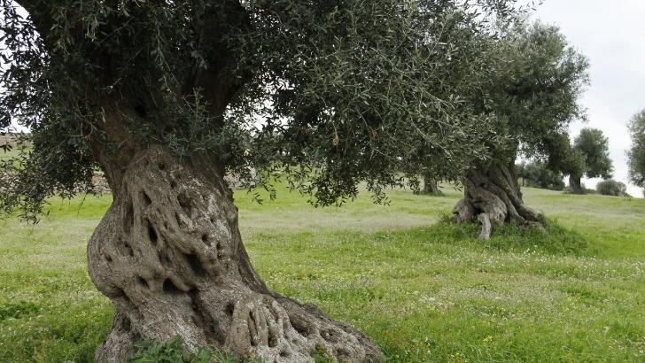 des-champs-d-oliviers-a-decouvrir