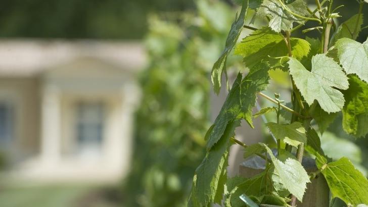 un-cep-de-vigne