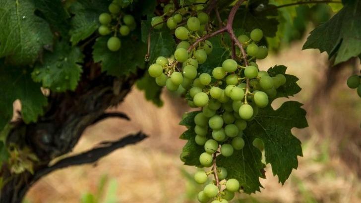 vignes-encore-vertes